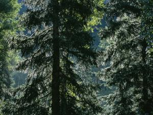 Sunlight Reflected by Morning Dew on Pine Trees by Taylor S. Kennedy