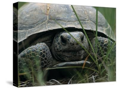 View of a Gopher Tortoise From Ground Level