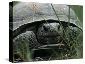 View of a Gopher Tortoise From Ground Level by Taylor S. Kennedy