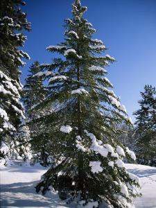 View of a Pine Tree Covered in Snow by Taylor S. Kennedy