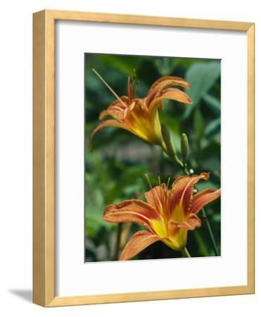 View of a Tiger Lily