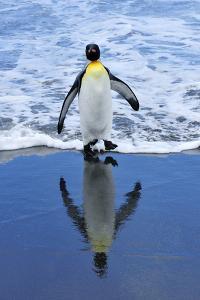 King Penguin on Beach by TCYuen