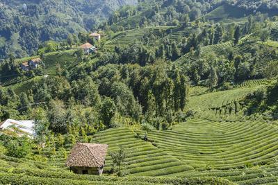 Tea Fields in Rize, Black Sea Region of Turkey-Ali Kabas-Photographic Print