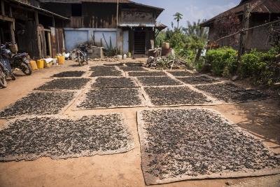 Tea Leaves Drying, Hsipaw, Shan State, Myanmar (Burma), Asia-Matthew Williams-Ellis-Photographic Print