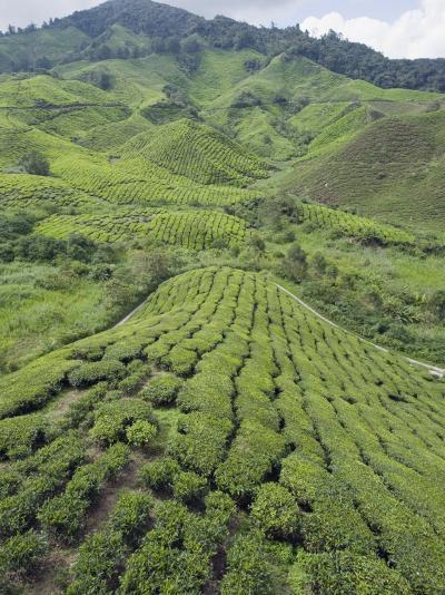 Tea Plantation, Boh Sungai Palas Tea Estate, Cameron Highlands, Perak State, Malaysia-Christian Kober-Photographic Print