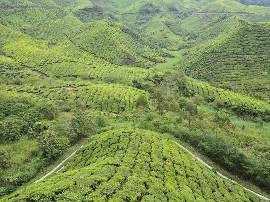 Tea Plantation, Cameron Highlands, Perak, Malaysia, Southeast Asia, Asia-Jochen Schlenker-Photographic Print