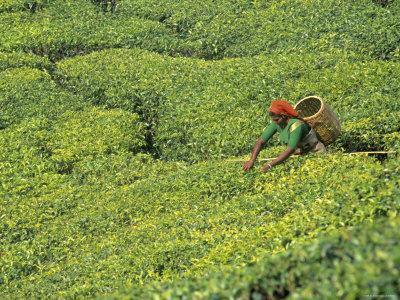 https://imgc.artprintimages.com/img/print/tea-plantation-kerala-southern-india_u-l-p38dox0.jpg?p=0