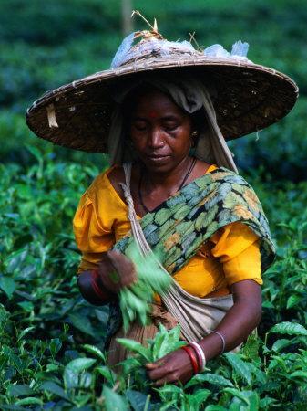 https://imgc.artprintimages.com/img/print/tea-plucker-picks-leaves-from-bush-to-make-assam-tea-guwahati-assam-india_u-l-p11suc0.jpg?p=0