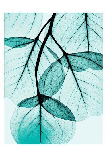 Teal Eucalyptus-Albert Koetsier-Art Print