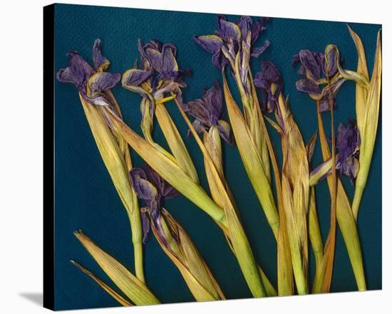 Teal Garden Irises--Stretched Canvas Print
