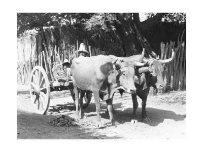 Team of Oxen, Mexico, C.1927-Tina Modotti-Photographic Print