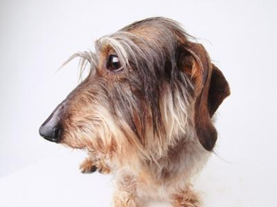 Dachshund Looking Away by Ted Horowitz