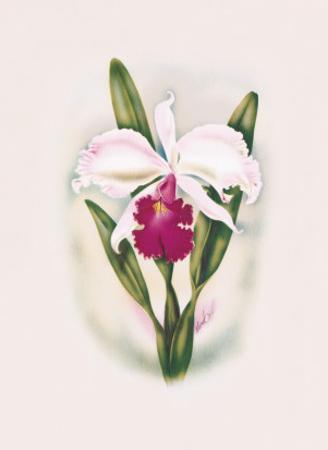 Hawaiian Cattleya Orchid by Ted Mundorff