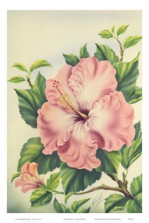 Hawaiian Pink Hibiscus, c.1940s