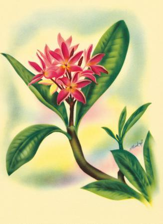 Pink Plumeria, from In An Old Hawaiian Garden c.1947 by Ted Mundorff