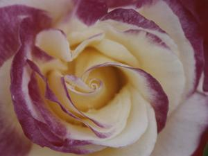 A Close View of a Cream Colored Rose with Pink Edges by Ted Spiegel