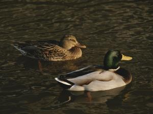 A Pair of Mallard Ducks Go for a Swim by Ted Spiegel