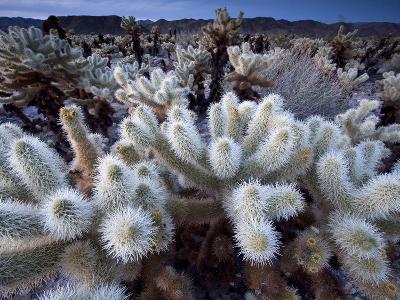 Teddy Bear Cactus or Jumping Cholla in Joshua Tree National Park, California-Ian Shive-Photographic Print