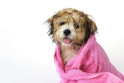 Teddy Bear Dog (Wet) Wrapped in a Towel--Photographic Print