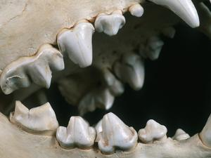 Teeth and Skull of Spotted Hyena