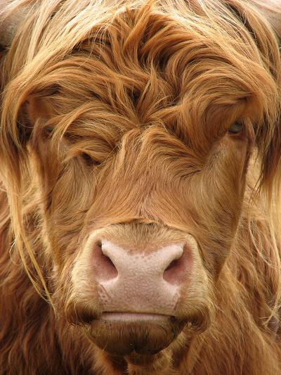 Telephoto View of the Face of a Highland Cow- Yorkman-Photographic Print