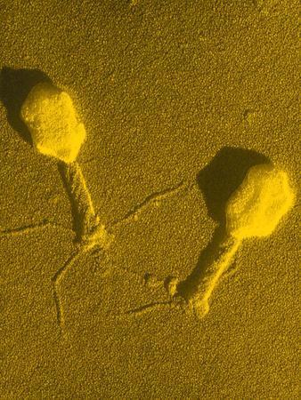 https://imgc.artprintimages.com/img/print/tem-t4-bacteriophage_u-l-pzkj570.jpg?artPerspective=n