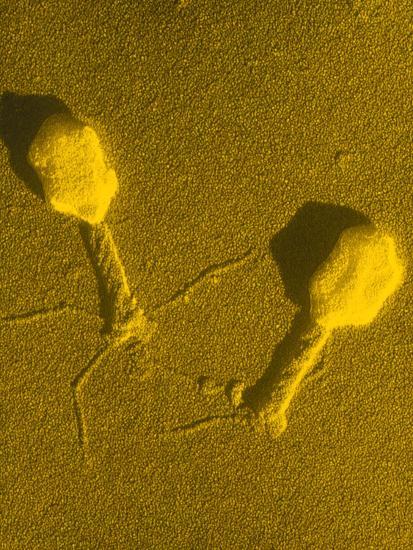 TEM T4 Bacteriophage-M. Wurtz-Photographic Print