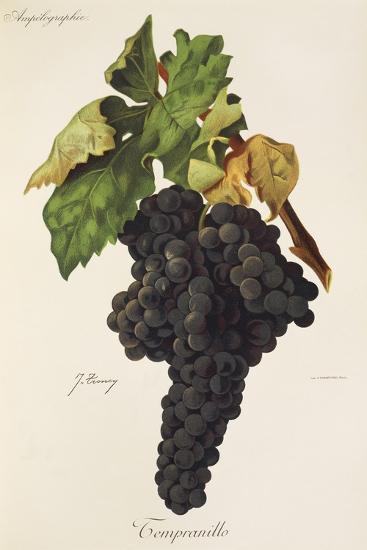 Tempranillo Grape-J. Troncy-Giclee Print