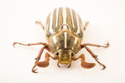 https://imgc.artprintimages.com/img/print/ten-lined-june-beetle-polyphylla-deremlineata_u-l-q1btxhj0.jpg?p=0