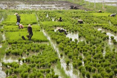 Tending the Rice Paddies, Shan State, Myanmar (Burma), Asia-Colin Brynn-Photographic Print