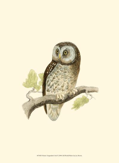 Tengmalm's Owl-Reverend Francis O^ Morris-Art Print