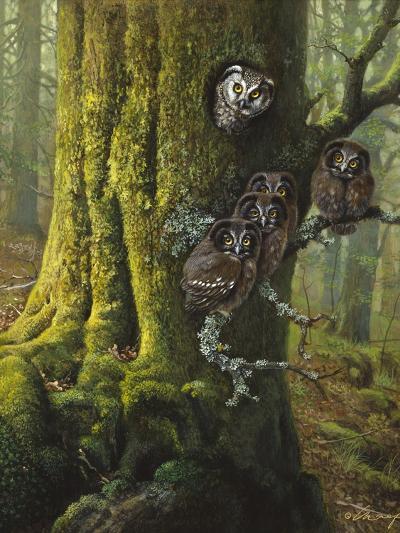 Tengmalms Owls-Harro Maass-Giclee Print