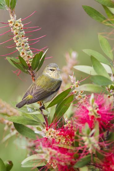 Tennessee Warbler (Vermivora Peregrina) Foraging for Insects-Larry Ditto-Photographic Print