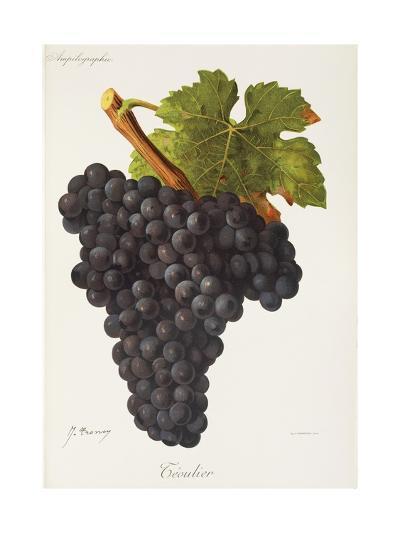 Teoulier Grape-J. Troncy-Giclee Print