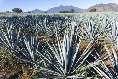 https://imgc.artprintimages.com/img/print/tequila-is-made-from-the-blue-agave-plant-in-the-state-of-jalisco-and-mostly-around-the-city-of-teq_u-l-q1bskmy0.jpg?p=0