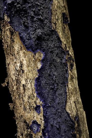 Terana Caerulea (Cobalt Crust, Velvet Blue Spread)-Paul Starosta-Photographic Print