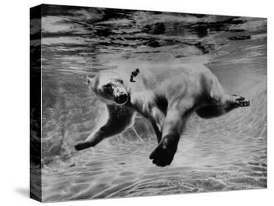 Polar Bear Swimming Underwater at London Zoo
