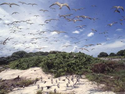 Tern Colony on Tubbataha Reef Philippines-Jurgen Freund-Photographic Print
