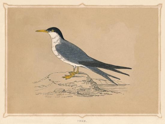 'Tern', (Sternidae), c1850, (1856)-Unknown-Giclee Print