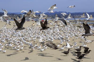Terns and Seagulls-Richard Cummins-Photographic Print