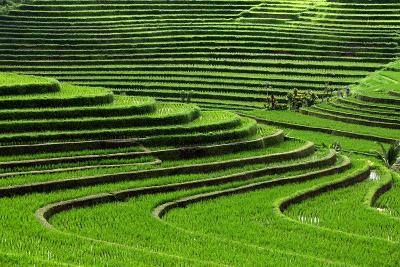 Terrace Rice Fields, Bali, Indonesia- Marko5-Photographic Print