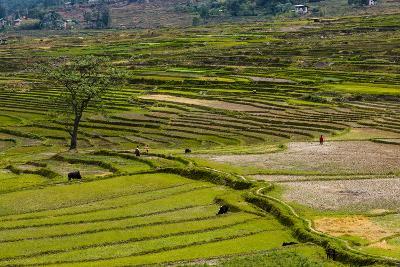 Terrace Rice Fields, Chimi Lhakhang, Bhutan-Michael Runkel-Photographic Print