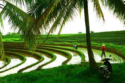Terraced Rice Paddy in Ubud, Bali, Indonesia, Southeast Asia, Asia-Laura Grier-Photographic Print