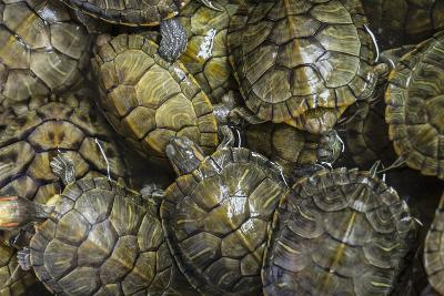 Terrapins at Market, Guilin, Guangxi, China, Asia-Janette Hill-Photographic Print