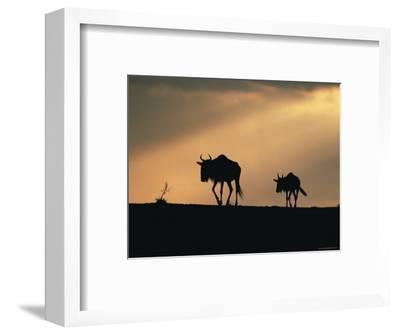 Two Wildebeest, at Sunset, Kenya