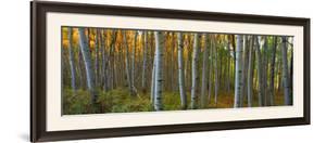 Aspen Grove, Kebler Pass, Colorado, USA by Terry Eggers