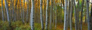 Aspen Grove, Kebler Pass, Colorado, USA by Terry Eggers