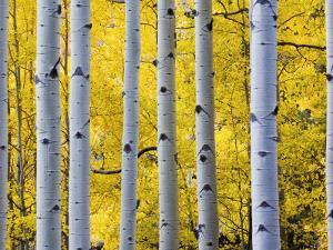 Autumn Aspen Stand, Yankee Boy Basin, Colorado, USA by Terry Eggers