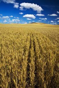 Farm Fields of Golden Harvest Wheat, Palouse Country, Washington, USA by Terry Eggers