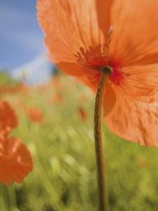 Fire Poppies Growing in Palouse Region, Colfax, Washington, USA by Terry Eggers